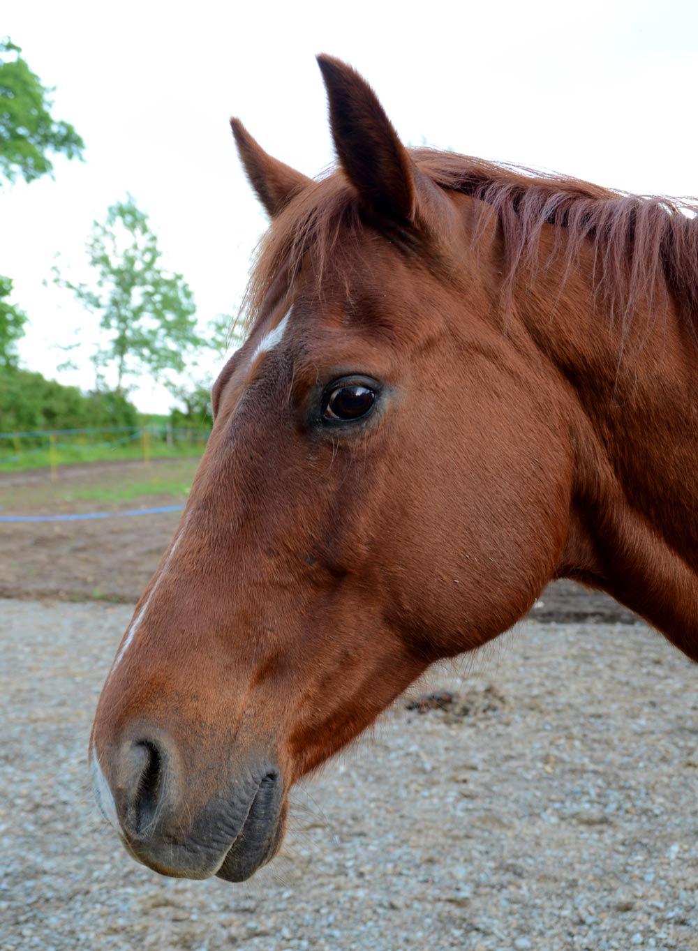 Toto Quarter horse