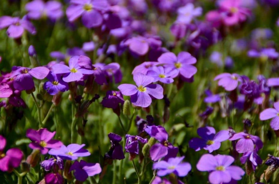 Tapis fleuri des aubriètes