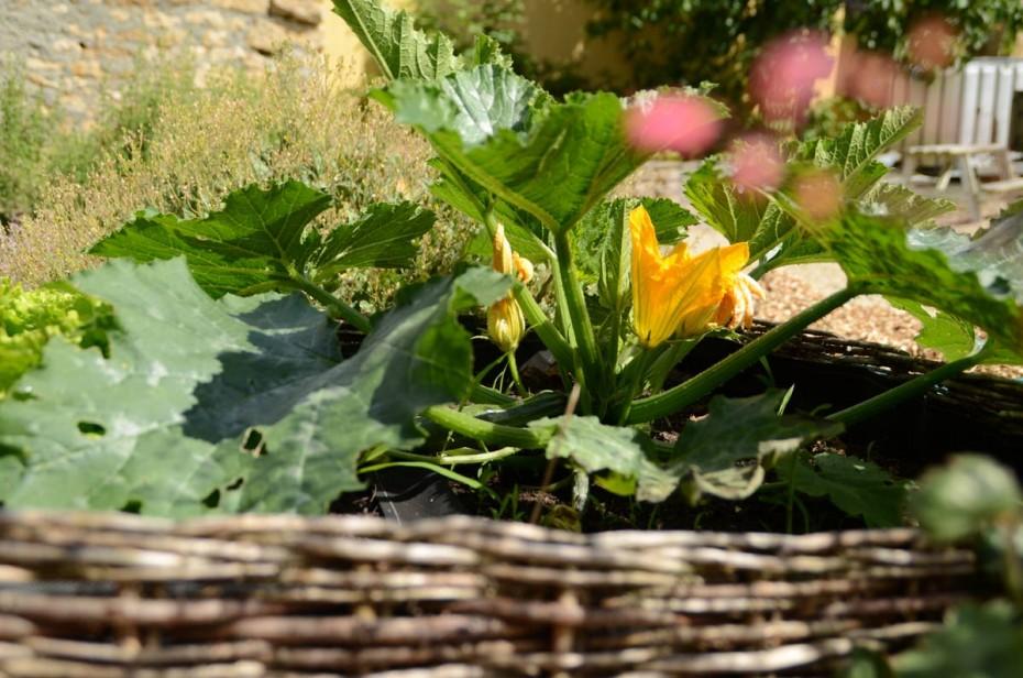 Courgettes dans le jardin potager