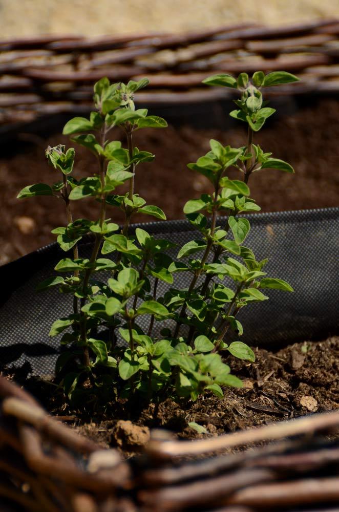 Herbe aromatique origan