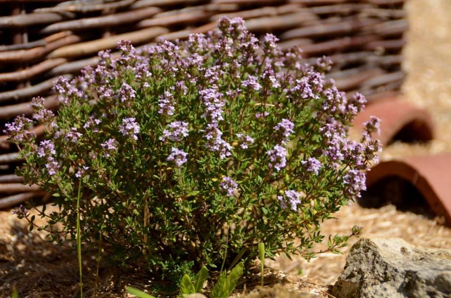 Thym en fleur dans le potager de la solissonnière