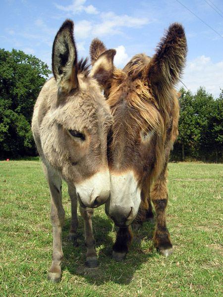 Les ânes de Nanou